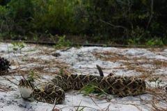 Serpent à sonnettes de dos en forme de losange oriental photographie stock libre de droits