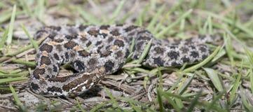 Serpent à sonnettes de Pigmy Image libre de droits
