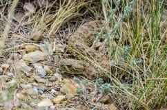 Serpent à sonnettes de prairie Images stock