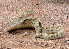 Serpent à sonnettes de prairie fâché Photos libres de droits