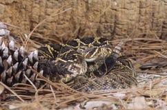 Serpent à sonnettes de Serpent-Bois de construction (horridus de crotalus) Image libre de droits