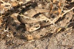 Serpent à sonnettes de Sidewinder (cerastes de Crotalus) Images stock