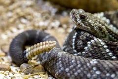 Serpent à sonnettes - durissus de Crotalus, toxique dangers photographie stock