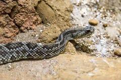 Serpent à sonnettes - durissus de Crotalus, toxique dangers photos stock