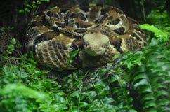 Serpent à sonnettes enroulé photos libres de droits