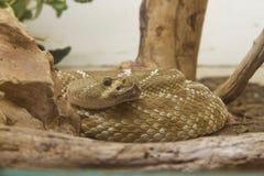 Serpent à sonnettes enroulé Photo stock