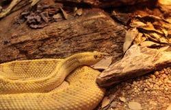 Serpent à sonnettes neotropical du nord-ouest connu sous le nom de culminatus de Crotalus Photo stock