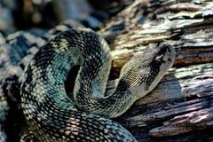 Serpent à sonnettes Pacifique du nord adulte, le comté de Siskiyou, la Californie du nord, Etats-Unis photo libre de droits