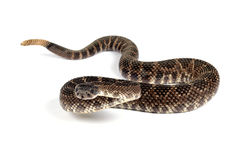 Serpent à sonnettes Pacifique du sud (helleri de viridis de Crotalus). Images stock