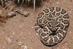 Serpent à sonnettes Pacifique méridional Photos stock