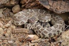 Serpent à sonnettes Pacifique méridional (helleri de viridis de Crotalus) Photo stock