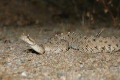 Serpent à sonnettes Sidewinder Photos libres de droits