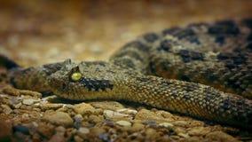 Serpent à sonnettes sur le plan rapproché de plancher de désert banque de vidéos