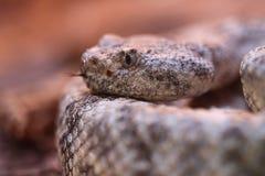 Serpent à sonnettes tacheté images stock