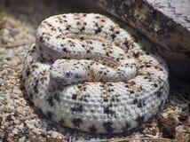 Serpent à sonnettes tacheté du sud-ouest Images libres de droits
