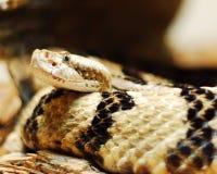 Serpent photo libre de droits