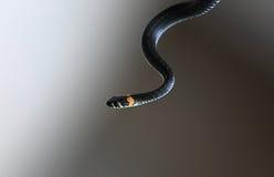 serpent Immagini Stock Libere da Diritti