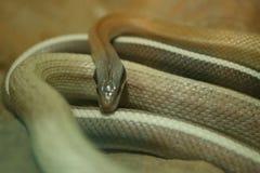 Serpent photographie stock libre de droits