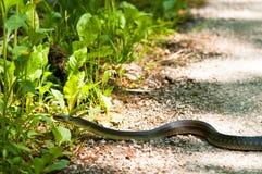 Serpent Aesculapian (longissima d'Elaphe) Photos stock