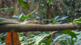 Serpent Aesculapian sur la branche Photo libre de droits