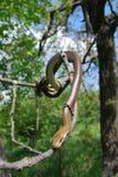 Serpent Aesculapian (zamenis longissimus) photographie stock libre de droits