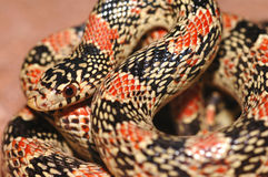 Serpent au nez long de l'Arizona image libre de droits