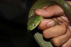 Serpent, Boiga Cyanea Photographie stock libre de droits