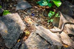 Serpent commun image libre de droits