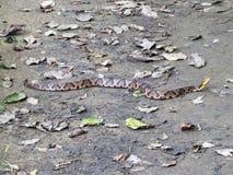 Serpent commun de Copperhead Photographie stock libre de droits