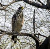 Serpent crêté Eagle (cheela de Spilornis) Image libre de droits