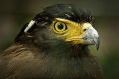 Serpent crêté Eagle Image stock