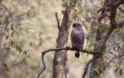 Serpent crested eagle Royalty Free Stock Image