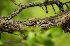 Serpent d'Aesculapean sur un arbre photo stock