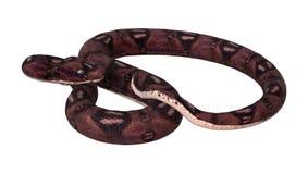 serpent d'anaconda du rendu 3D sur le blanc Image libre de droits