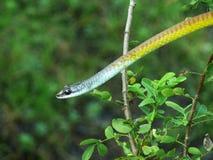 Serpent d'or d'arbre Image stock
