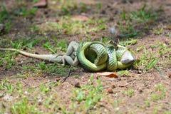 Serpent d'or d'arbre Photographie stock