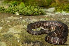 Serpent d'eau du nord image libre de droits