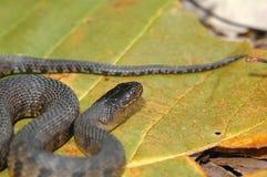 Serpent d'eau vert du Mississippi Photographie stock libre de droits