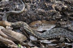 Serpent d'espèces de Bothrops avec la langue prolongée Image libre de droits