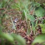 Serpent d'herbe Photographie stock libre de droits