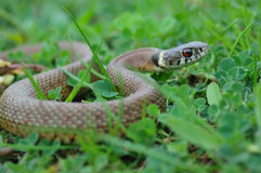 Serpent d'herbe images stock