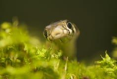 Serpent d'herbe Images libres de droits