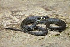 Serpent d'herbe Photos libres de droits
