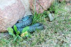 Serpent d'herbe Image stock