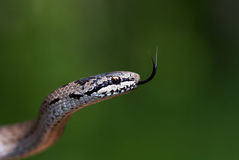 serpent d'herbe Photo libre de droits