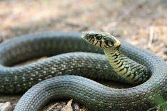 Serpent d'herbe Image libre de droits
