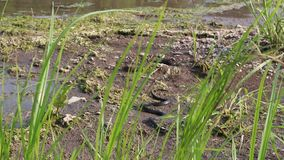 Serpent d'herbe, serpent atoxique européen dans l'habitat naturel banque de vidéos