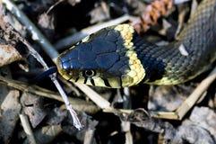 Serpent d'herbe britannique Images stock