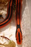 Serpent d'herbe (coxi de porphyraceus d'Oreocryptophis) images libres de droits