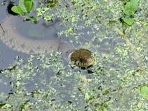 Serpent d'herbe dans l'étang de jardin photographie stock libre de droits